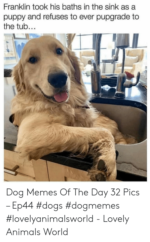 Animals, Dogs, and Memes: Franklin took his baths in the sink as a  puppy and refuses to ever pupgrade to  the tub... Dog Memes Of The Day 32 Pics – Ep44 #dogs #dogmemes #lovelyanimalsworld - Lovely Animals World
