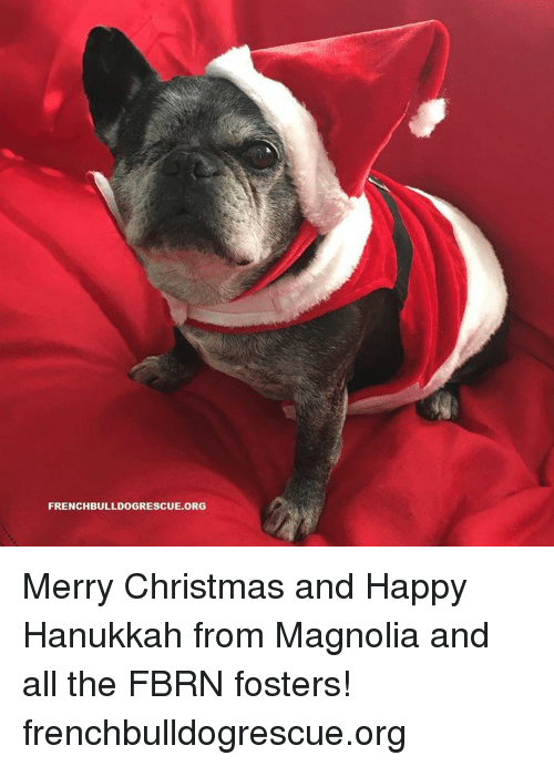 Memes, Hanukkah, and 🤖: FRENCHBULLDOGRESCUE. ORG Merry Christmas and Happy Hanukkah from Magnolia and all the FBRN fosters!   frenchbulldogrescue.org