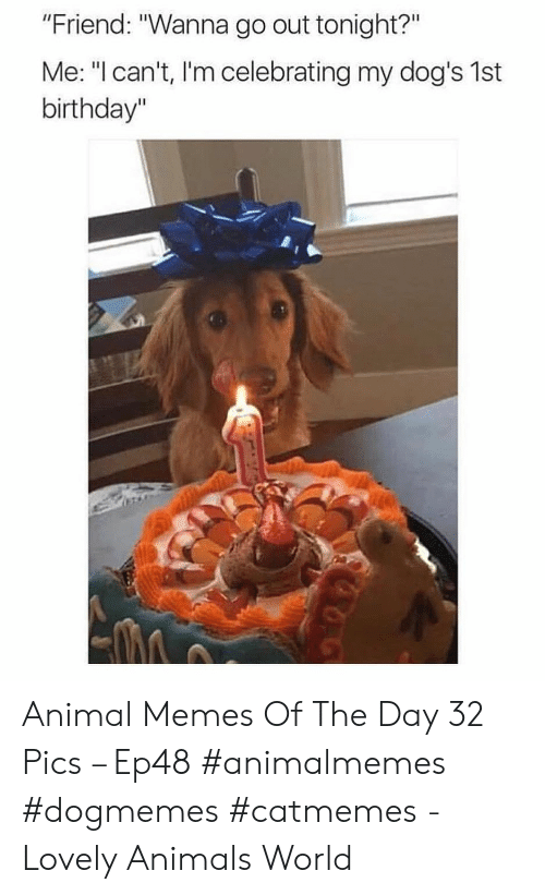 """Animals, Birthday, and Dogs: """"Friend: """"Wanna go out tonight?""""  Me: """"I can't, I'm celebrating my dog's 1st  birthday"""" Animal Memes Of The Day 32 Pics – Ep48 #animalmemes #dogmemes #catmemes - Lovely Animals World"""
