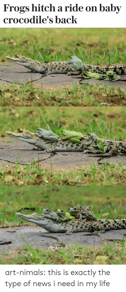 Ridings: Frogs hitch a ride on baby  crocodile's back art-nimals: this is exactly the type of news i need in my life