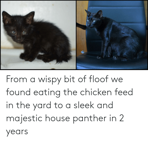 sleek: From a wispy bit of floof we found eating the chicken feed in the yard to a sleek and majestic house panther in 2 years