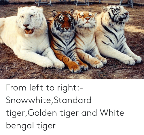 Tiger, White, and Bengal Tiger: From left to right:-Snowwhite,Standard tiger,Golden tiger and White bengal tiger