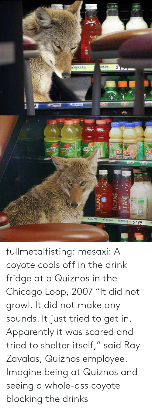 "Quiznos: fullmetalfisting:  mesaxi:  A coyote cools off in the drink fridge at a Quiznos in the Chicago Loop, 2007 ""It did not growl. It did not make any sounds. It just tried to get in. Apparently it was scared and tried to shelter itself,"" said Ray Zavalas, Quiznos employee.   Imagine being at Quiznos and seeing a whole-ass coyote blocking the drinks"