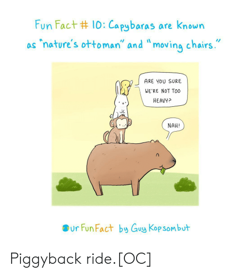 "Ottoman, Fun, and You: Fun Fact #10:Capybaras are known  ""nature's ottoman"" and ""moving chairs.  as  ARE YOU SURE  WE'RE NOT TO0  HEAVY?  NAH!  ur Fun Fact by Guy Kop sombut Piggyback ride.[OC]"