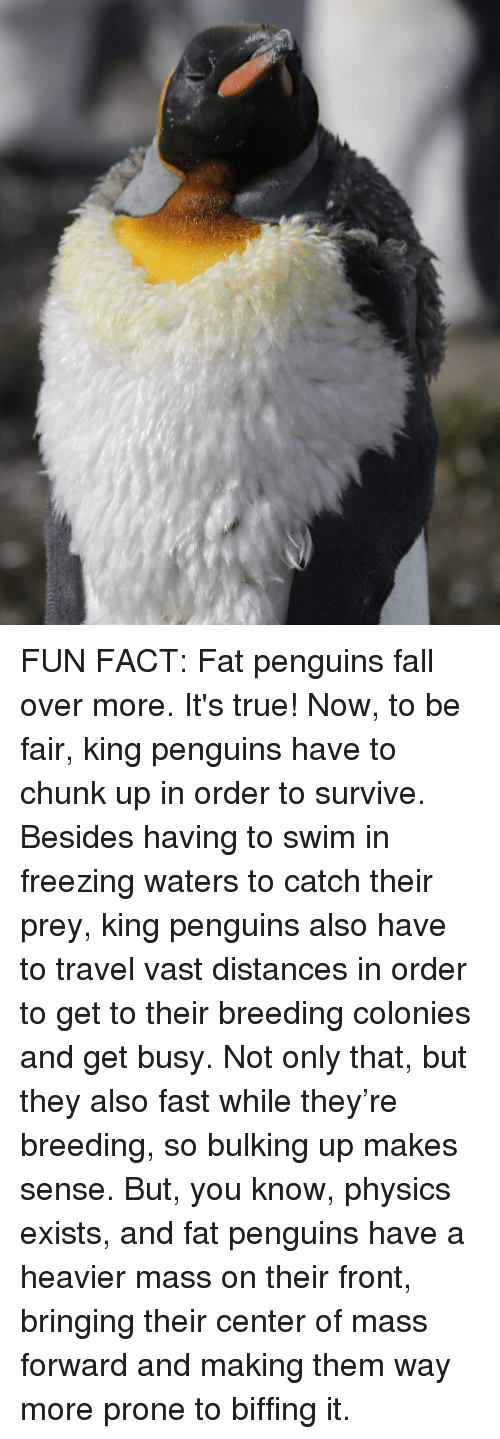 Falling Over: FUN FACT: Fat penguins fall over more. It's true! Now, to be fair, king penguins have to chunk up in order to survive. Besides having to swim in freezing waters to catch their prey, king penguins also have to travel vast distances in order to get to their breeding colonies and get busy. Not only that, but they also fast while they're breeding, so bulking up makes sense. But, you know, physics exists, and fat penguins have a heavier mass on their front, bringing their center of mass forward and making them way more prone to biffing it.