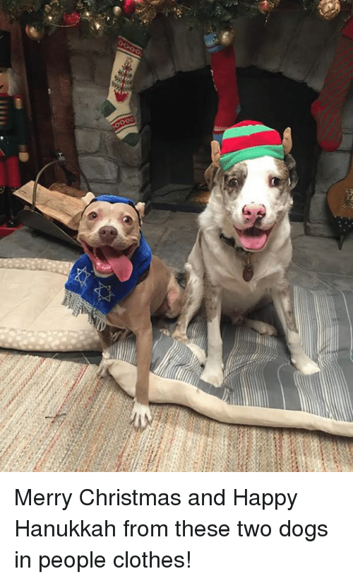 Clothes, Dank, and Hanukkah: Ga Merry Christmas and Happy Hanukkah from these two dogs in people clothes!
