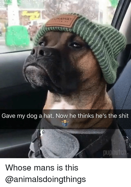 Shit, Dank Memes, and Pup: Gave my dog a hat. Now he thinks he's the shit  pup Whose mans is this @animalsdoingthings