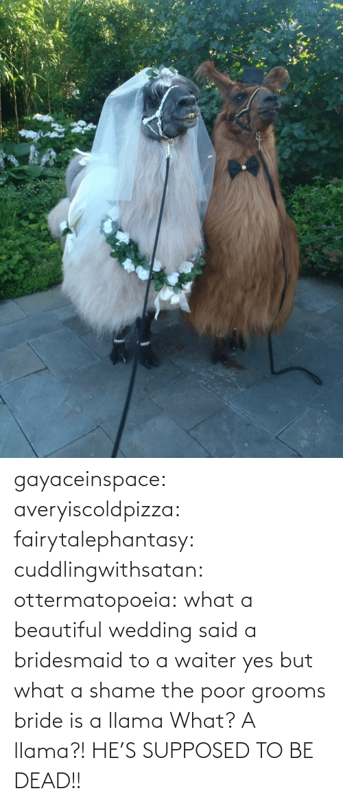 tmblr: gayaceinspace: averyiscoldpizza:  fairytalephantasy:  cuddlingwithsatan:  ottermatopoeia:  what a beautiful wedding  said a bridesmaid to a waiter  yes but what a shame  the poor grooms bride is a llama  What? A llama?! HE'S SUPPOSED TO BE DEAD!!