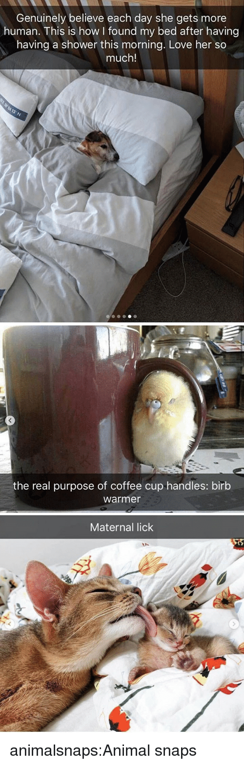 handles: Genuinely believe each day she gets more  human. This is how found my bed after having  having a shower this morning. Love her so  much!   the real purpose of coffee cup handles: birb  warmer   Maternal lick animalsnaps:Animal snaps