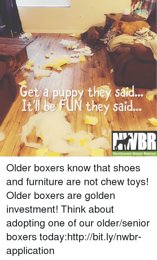 Memes, Shoes, and Boxer: Get a puppy they said..  Itll be FUN they said..  Northwest Boxer Rescue Older boxers know that shoes and furniture are not chew toys! Older boxers are golden investment! Think about adopting one of our older/senior boxers today:http://bit.ly/nwbr-application