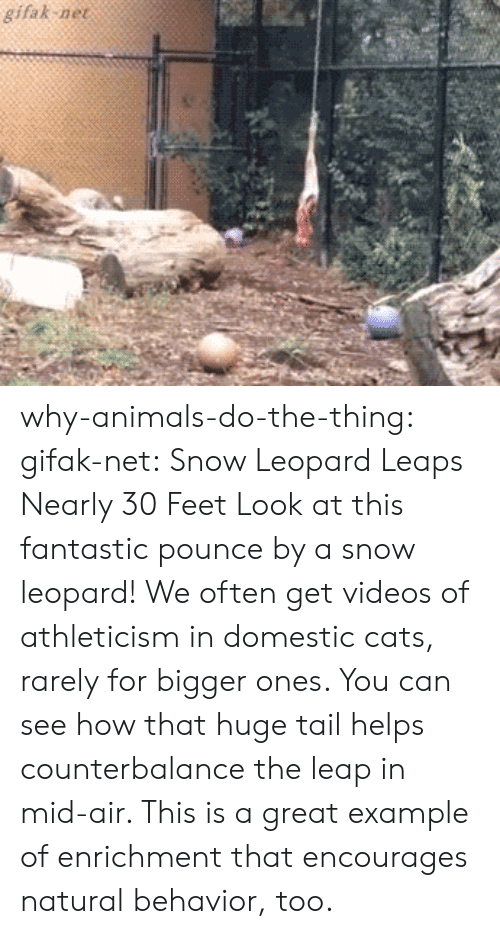 Animals, Cats, and Target: gifak ne why-animals-do-the-thing: gifak-net: Snow Leopard Leaps Nearly 30 Feet Look at this fantastic pounce by a snow leopard! We often get videos of athleticism in domestic cats, rarely for bigger ones. You can see how that huge tail helps counterbalance the leap in mid-air. This is a great example of enrichment that encourages natural behavior, too.