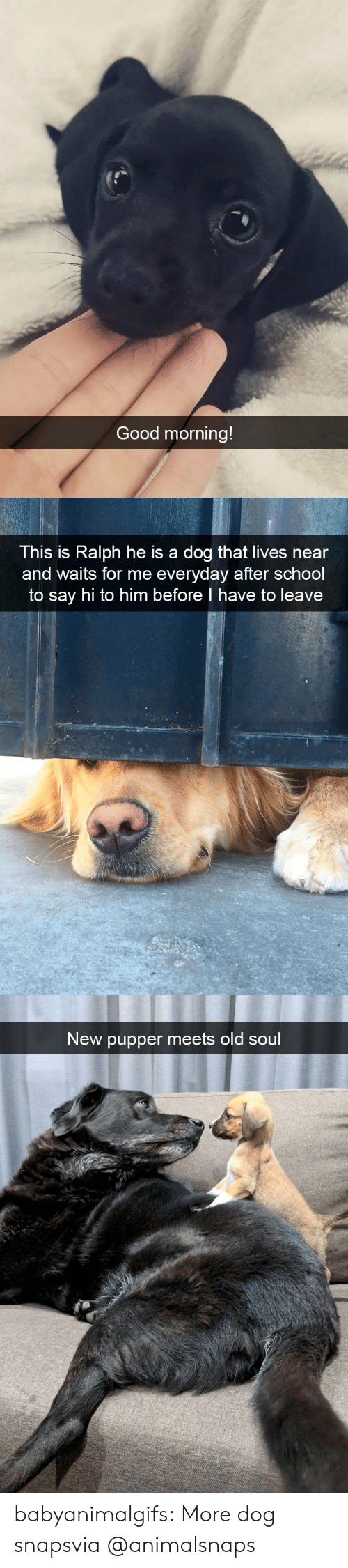 School, Tumblr, and Good Morning: Good morning!   This is Ralph he is a dog that lives near  and waits for me everyday after school  to say hi to him before I have to leave   New pupper meets old soul babyanimalgifs:  More dog snapsvia @animalsnaps​