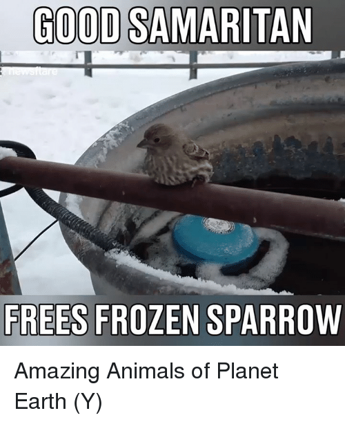 Frozen, Memes, and 🤖: GOOD SAMARITAN  FREES FROZEN SPARROW Amazing Animals of Planet Earth  (Y)