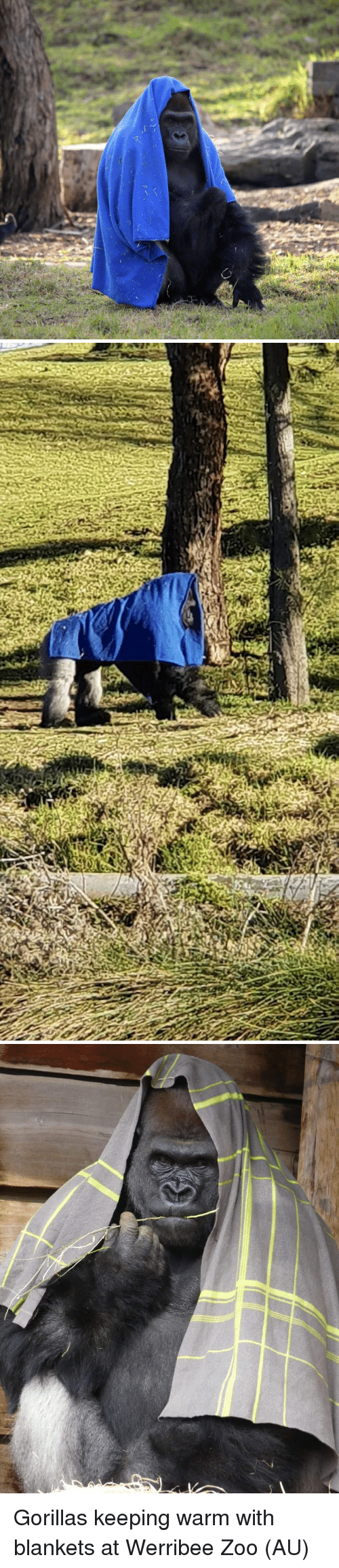 Zoo, Gorillas, and Warm: Gorillas keeping warm with blankets at Werribee Zoo (AU)