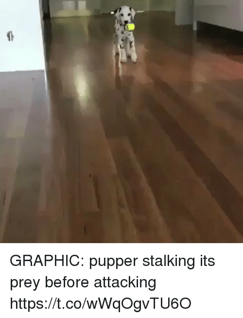 Stalking, Girl Memes, and Prey: GRAPHIC: pupper stalking its prey before attacking  https://t.co/wWqOgvTU6O