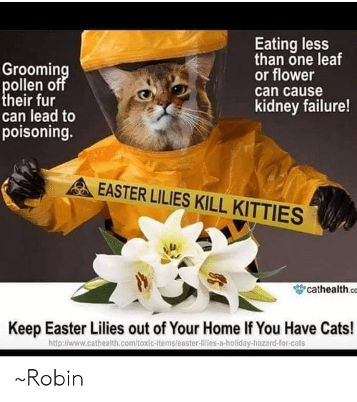Cats, Easter, and Kitties: Groomin  ollen off  heir fur  can lead to  poisoning.  Eating less  than one leaf  or flower  can cause  kidney failure!  EASTER LILIES KILL KITTIES  眥cathealth co  Keep Easter Lilies out of Your Home If You Have Cats!  http:l/www.cathealth.com/toxic-itemsleaster-lilies-a-holiday-hazard-for-cats ~Robin