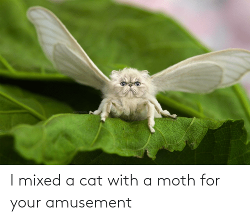 moth: GYYPORAMA I mixed a cat with a moth for your amusement