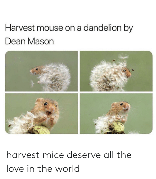 Dean: Harvest mouse on a dandelion by  Dean Mason harvest mice deserve all the love in the world