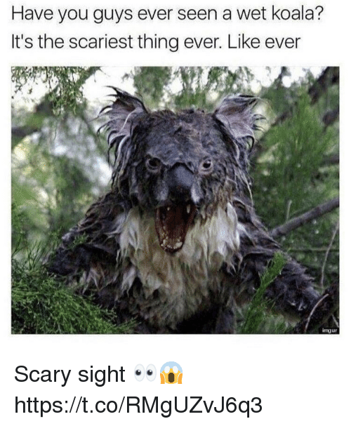 koala: Have you guys ever seen a wet koala?  It's the scariest thing ever. Like ever  imur Scary sight 👀😱 https://t.co/RMgUZvJ6q3