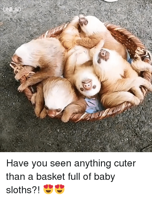 Cuter Than: Have you seen anything cuter than a basket full of baby sloths?! 😍😍