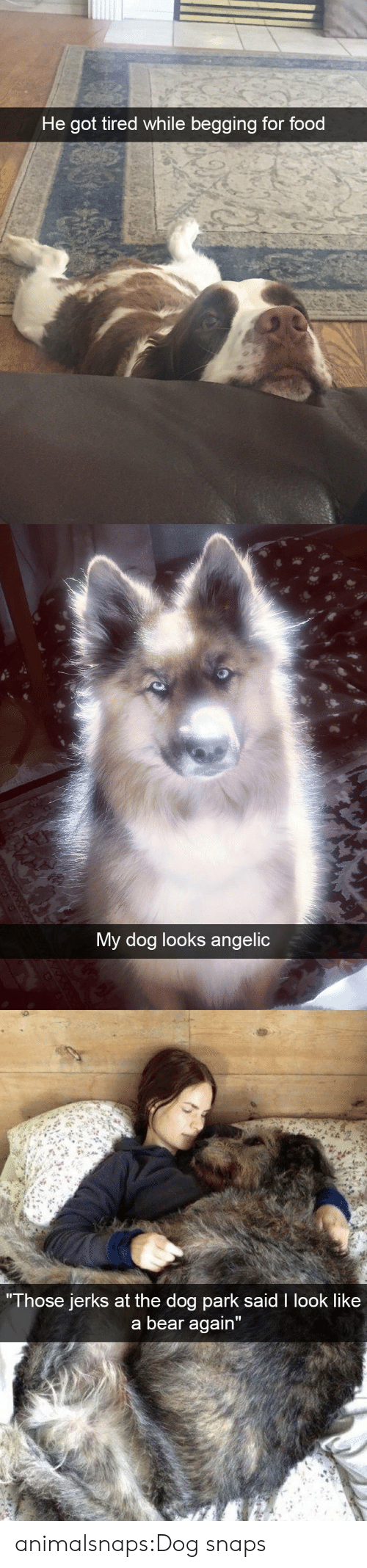 """Angelic: He got tired while begging for food   My dog looks angelic   Those jerks at the do  g park sald I look like  a bear again"""" animalsnaps:Dog snaps"""