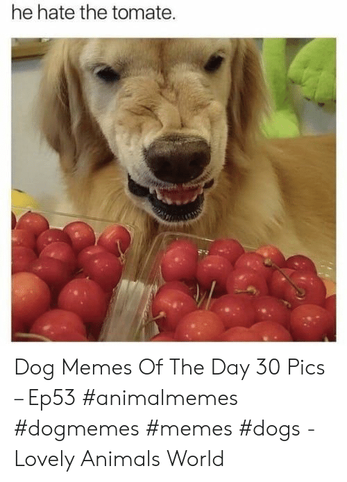 Animals, Dogs, and Memes: he hate the tomate. Dog Memes Of The Day 30 Pics – Ep53 #animalmemes #dogmemes #memes #dogs - Lovely Animals World