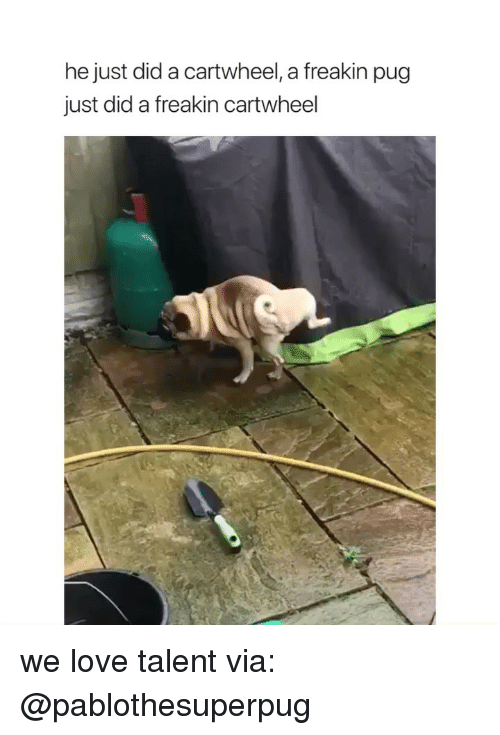 Freakin: he just did a cartwheel, a freakin pug  just did a freakin cartwheel we love talent via: @pablothesuperpug