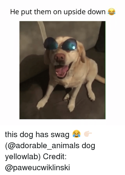 Animals, Memes, and Swag: He put them on upside down this dog has swag 😂 👉🏻(@adorable_animals dog yellowlab) Credit: @paweucwiklinski