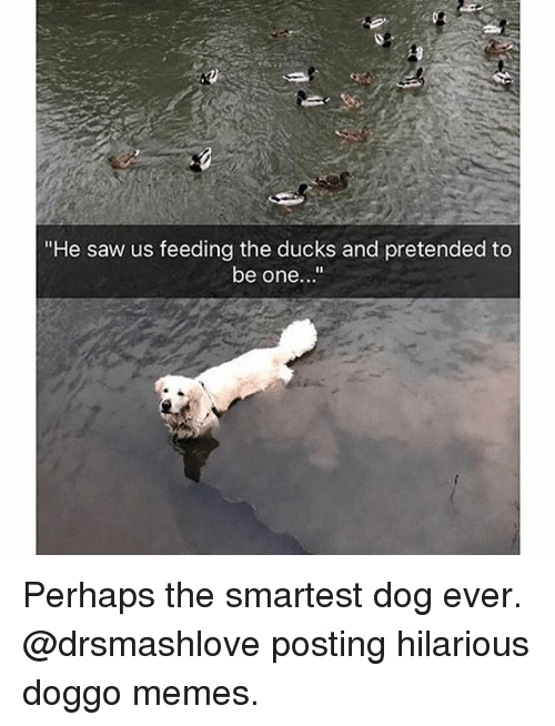 "Memes, Saw, and Ducks: ""He saw us feeding the ducks and pretended to  be one..."" Perhaps the smartest dog ever. @drsmashlove posting hilarious doggo memes."