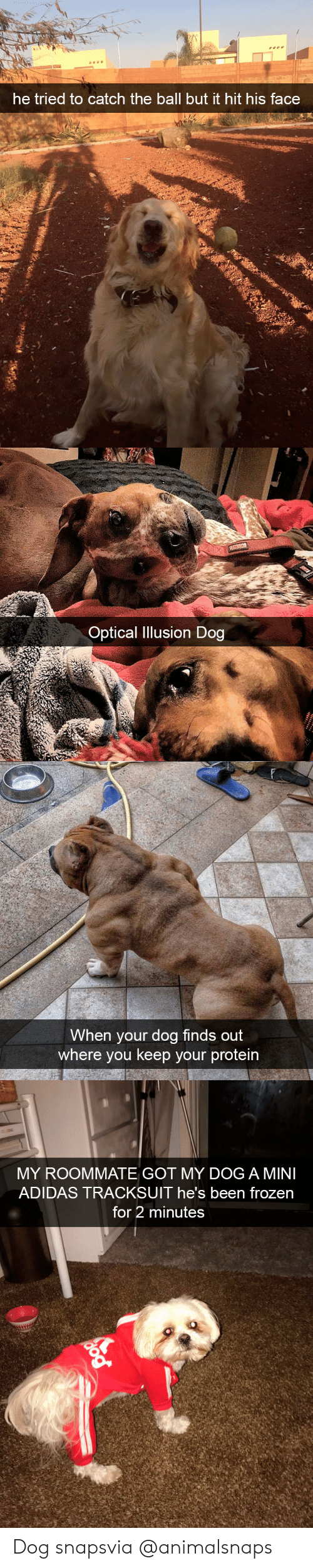 Adidas, Frozen, and Protein: he tried to catch the ball but it hit his face   Optical Ilusion Dog   When your dog finds out  where you keep your protein   MY ROOMMATE GOT MY DOG A MINI  ADIDAS TRACKSUIT he's been frozen  for 2 minutes Dog snapsvia @animalsnaps