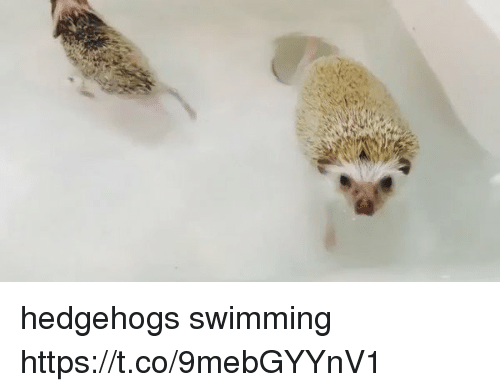Girl Memes and Swimming: hedgehogs swimming https://t.co/9mebGYYnV1