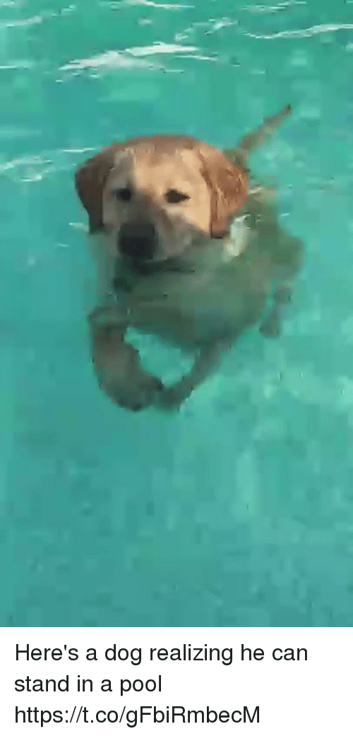 Funny, Pool, and Dog: Here's a dog realizing he can stand in a pool https://t.co/gFbiRmbecM