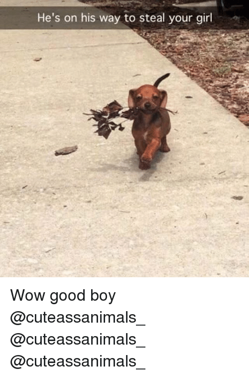 Memes, Wow, and Girl: He's on his way to steal your girl Wow good boy @cuteassanimals_ @cuteassanimals_ @cuteassanimals_
