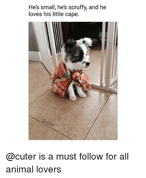 Memes, Animal, and 🤖: He's small, he's scruffy, and he  loves his little cape. @cuter is a must follow for all animal lovers