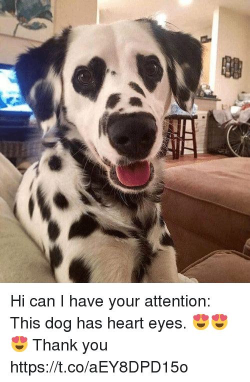 Thank You, Heart, and Girl Memes: Hi can I have your attention: This dog has heart eyes. 😍😍😍 Thank you https://t.co/aEY8DPD15o