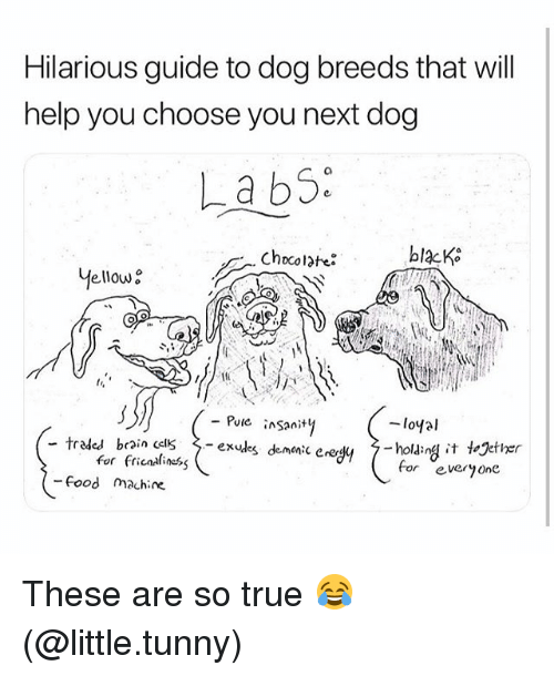 Food, Funny, and True: Hilarious guide to dog breeds that will  help you choose you next dog  La b5.  Chocolate:  blacK  Mellow  - Putc inSany  -loyal  -traded brain CclS〉-exules demonic enegy  7-olanglit  for fricasliness  demonic erer$4  7-hold:n4汁together  gether  for eve0ne  Food machine These are so true 😂 (@little.tunny)