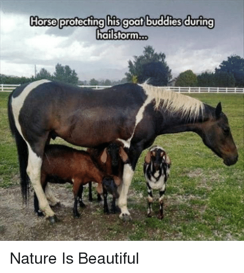 Beautiful, Goat, and Horse: Horse protecting his goat buddies during  hailstorm... Nature Is Beautiful