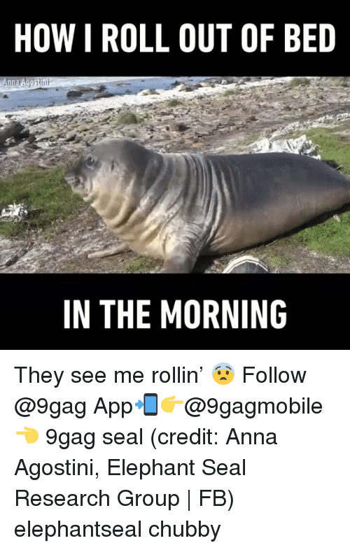9gag, Anna, and Memes: HOW I ROLL OUT OF BED  IN THE MORNING They see me rollin' 😨 Follow @9gag App📲👉@9gagmobile 👈 9gag seal (credit: Anna Agostini, Elephant Seal Research Group | FB) elephantseal chubby