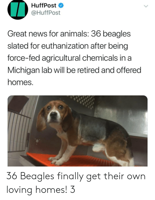 Chemicals: HuffPost  @HuffPost  Great news for animals. 36 beagles  slated for euthanization after being  force-fed agricultural chemicals in a  Michigan lab will be retired and offered  homes. 36 Beagles finally get their own loving homes! 3