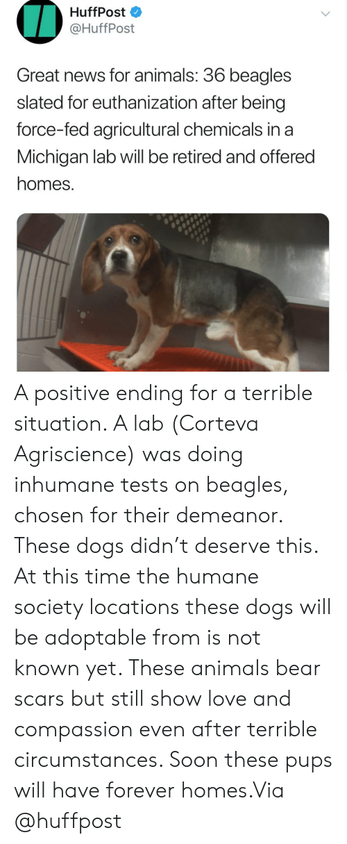Chemicals: HuffPost  @HuffPost  Great news for animals: 36 beagles  slated for euthanization after being  force-fed agricultural chemicals in a  Michigan lab will be retired and offered  homes. A positive ending for a terrible situation. A lab (Corteva Agriscience) was doing inhumane tests on beagles, chosen for their demeanor. These dogs didn't deserve this. At this time the humane society locations these dogs will be adoptable from is not known yet. These animals bear scars but still show love and compassion even after terrible circumstances. Soon these pups will have forever homes.Via @huffpost