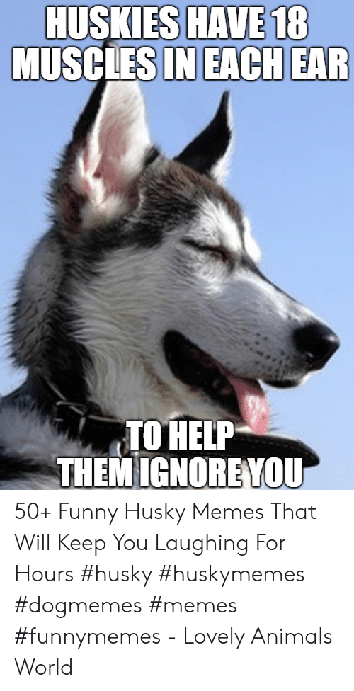 Animals, Funny, and Memes: HUSKIES HAVE 18  MUSCLESIN EACH EAR  TO HELP  THEM IGNOREYOU 50+ Funny Husky Memes That Will Keep You Laughing For Hours #husky #huskymemes #dogmemes #memes #funnymemes - Lovely Animals World