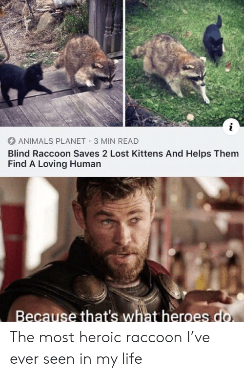 Animals, Life, and Lost: i  ANIMALS PLANET 3 MIN READ  Blind Raccoon Saves 2 Lost Kittens And Helps Them  Find A Loving Human  Because that's what heroes do. The most heroic raccoon I've ever seen in my life