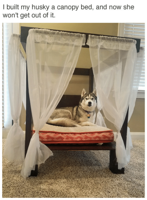 Husky: I built my husky a canopy bed, and now she  won't get out of it.