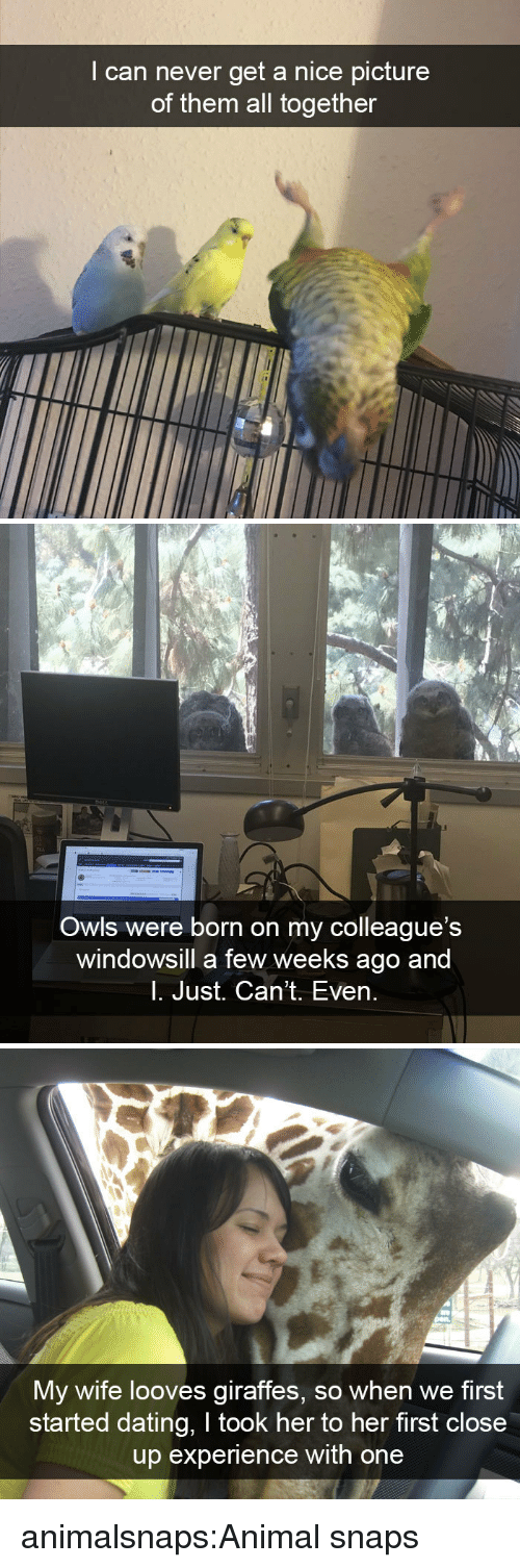 owls: I can never get a nice picture  of them all together   Owls were born on my colleague's  windowsill a few weeks ago and  l. Just. Can't. Even.   My wife looves giraffes, so when we first  started dating, I took her to her first close  up experience with one animalsnaps:Animal snaps