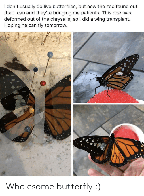 Patients: I don't usually do live butterflies, but now the zoo found out  that I can and they're bringing me patients. This one was  deformed out of the chrysalis, so I did a wing transplant  Hoping he can  fly tomorrow. Wholesome butterfly :)