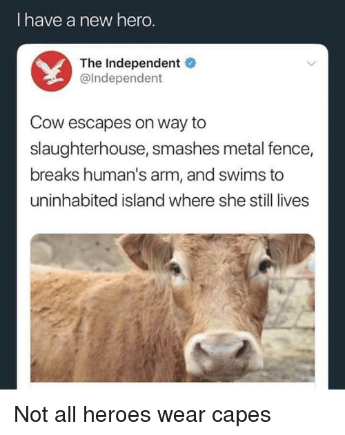 Heroes, Slaughterhouse, and Metal: I have a new hero  The Independent  @Independent  Cow escapes on way to  slaughterhouse, smashes metal fence,  breaks human's arm, and swims to  uninhabited island where she still lives <p>Not all heroes wear capes</p>