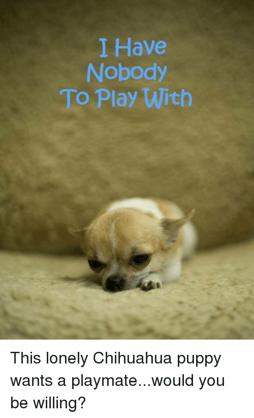 playmates: I Have  Nobody  To Play With This lonely Chihuahua puppy wants a playmate...would you be willing?