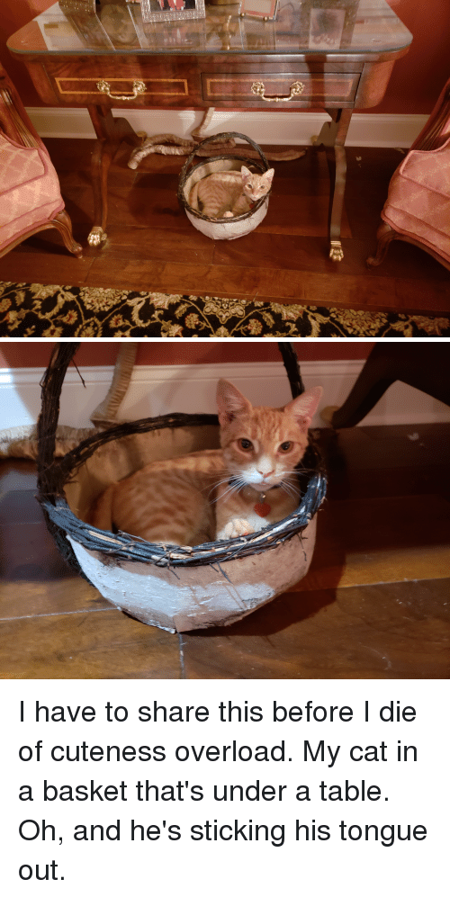 Cat, Table, and Overload: I have to share this before I die of cuteness overload. My cat in a basket that's under a table. Oh, and he's sticking his tongue out.