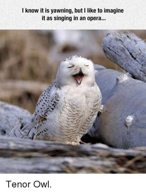 Singing, Opera, and Owl: I know it is yawning, but I like to imagine  it as singing in an opera... <p>Tenor Owl.</p>