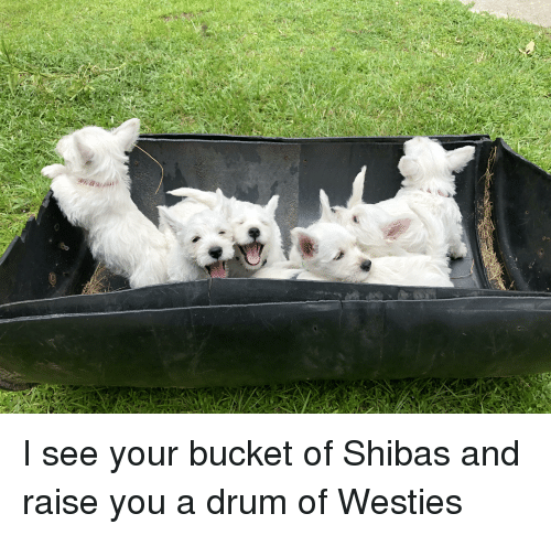 You, Drum, and Westies